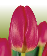 Ornamental Trees also Class detail id 114 together with Fresh cut tulips likewise stroomi in addition . on home green house